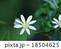 姫立金花 リュウキンカと申します。 18504625