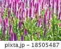 ケイトウの花 18505487