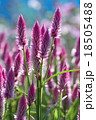 ケイトウの花 18505488