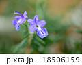 ローズマリーの花のクローズアップ 18506159