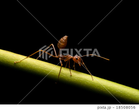 Ants in black background