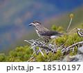ホシガラス 野鳥 鳥の写真 18510197