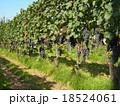ワイン用ぶどう(垣根栽培) 18524061
