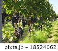 ワイン用ぶどう(垣根栽培) 18524062