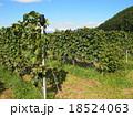 ワイン用ぶどう(垣根栽培) 18524063