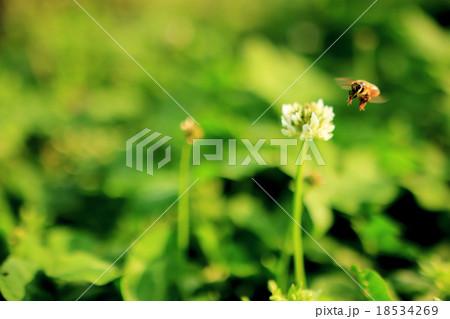 シロツメクサに着地しようとしているミツバチ 18534269