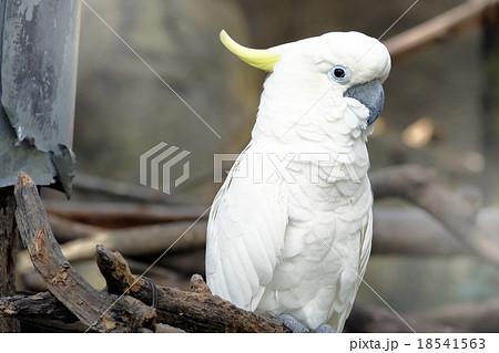Portrait of Triton cockatooの写真素材 [18541563] - PIXTA
