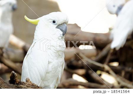 Portrait of Triton cockatooの写真素材 [18541564] - PIXTA
