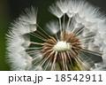 タンポポの綿毛 18542911