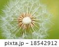 タンポポの綿毛 18542912