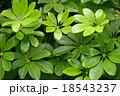 雨 水滴 葉の写真 18543237