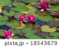 Closeup red lotus flower in the lake 18543679