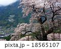 ひょうたん桜 桜 満開の写真 18565107