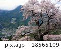 ひょうたん桜 桜 満開の写真 18565109