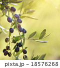 Olive tree with fruits 18576268