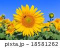 真夏に咲き誇るヒマワリの花 18581262