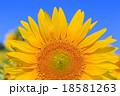 向日葵 花 植物の写真 18581263