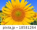 向日葵 花 植物の写真 18581264