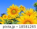 向日葵 花 植物の写真 18581265