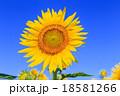 真夏に咲き誇るヒマワリの花 18581266