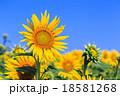 真夏に咲き誇るヒマワリの花 18581268