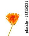 マリーゴールド キンセンカ 金盞花の写真 18589221