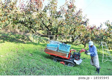 柿の収穫 男性 運搬車操作 18595945