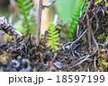 植物 シダ 葉の写真 18597199