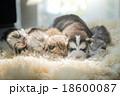 ねこ ネコ 猫の写真 18600087