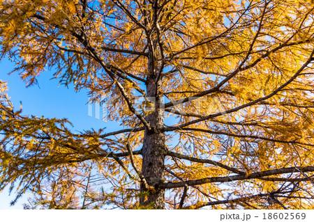【栃木県日光市・戦場ヶ原】朝日を浴びる秋のカラマツ 18602569