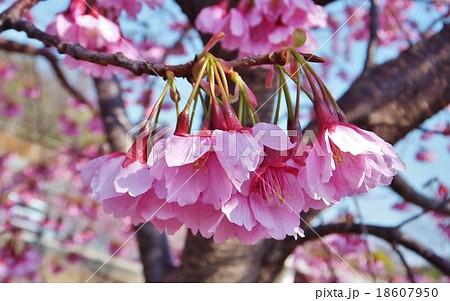 新種・掛川桜は下向きに咲く 18607950