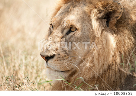 Closeup shot of young male lion in Serengeti
