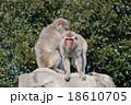 猿山の猿 18610705