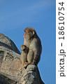 猿山の猿 18610754