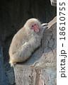 傾斜で休憩の猿 18610755
