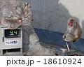 体重計に乗った猿 18610924