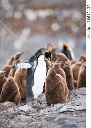 King penguin in South Georgia, Antarctica