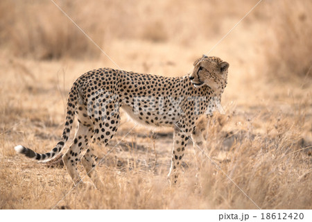 Cheetah in Serengeti National Park, Tanzania