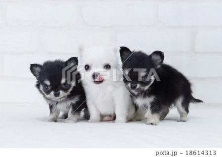 3匹寄り添う仔犬のチワワ 18614313