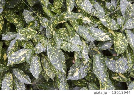 斑模様の葉 18615944
