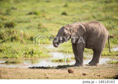 Young African Elephant, Amboseli, Kenya