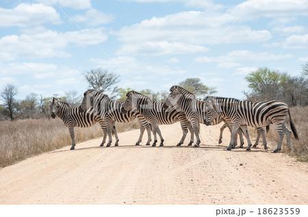 Zebra crossing road, Kruger National Park