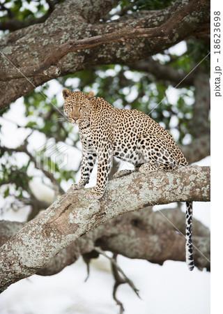 African leopard on tree