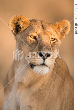 Female lion in Serengeti, Tanzania