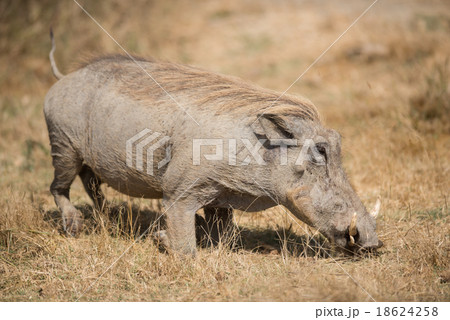 The warthog or common warthog in the wild