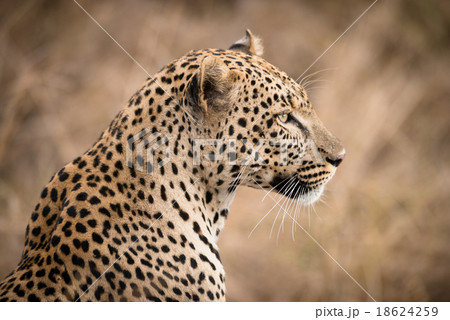 Closeup of African Leopard in the wild