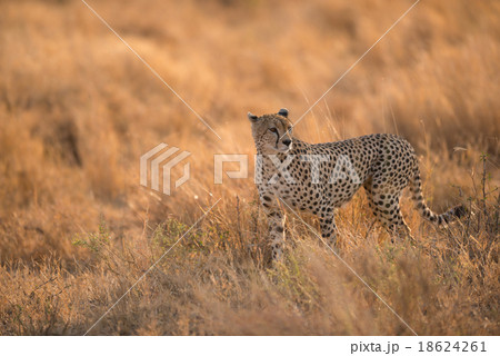 Cheetah in the wild africa
