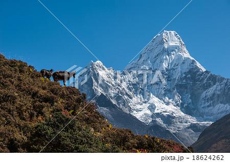 Himalayan Tahr with Ama Dablam, Nepal