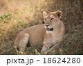 Female lion in Serengeti National Park, Tanzania. 18624280