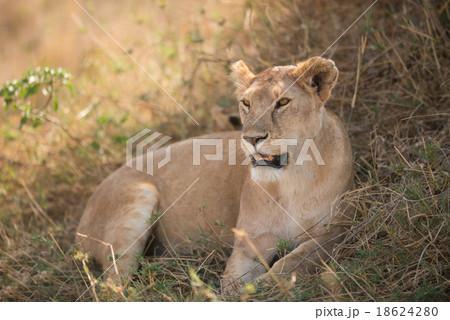 Female lion in Serengeti National Park, Tanzania.